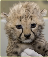 Baby Cheetahs at the Smithsonian Conservation Biology Institute (SCBI) !!