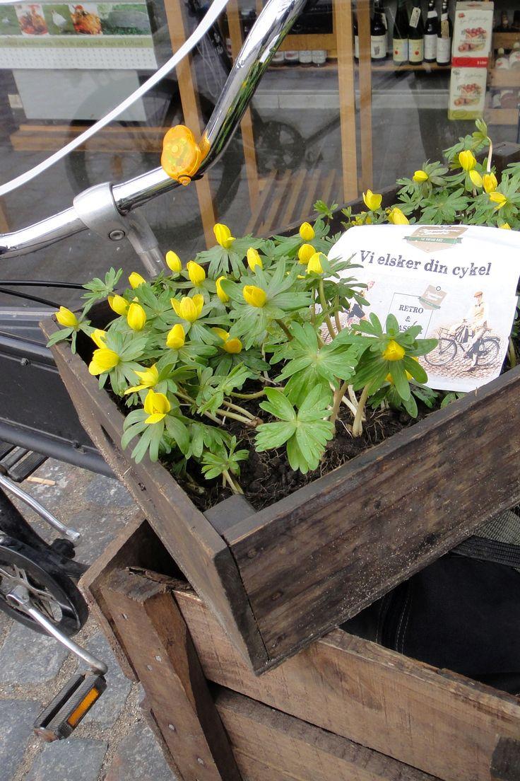 Winterlinge in einer Kiste als Zwiebelblumen Schmuck fürs Hollandfahrrad
