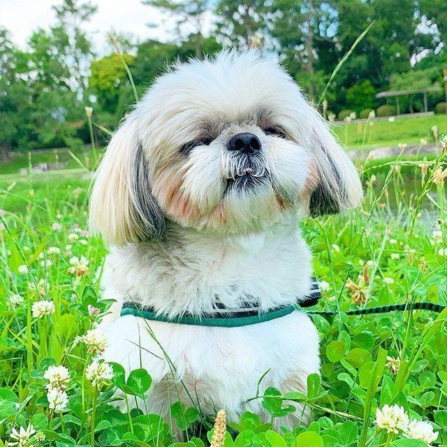 かわいいを産み出す現実の姿 連載 シーズー犬のてんぽ 第7回 いぬのきもちweb Magazine シーズー犬 シーズー 犬