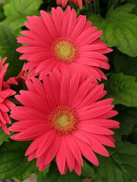 how to grow gerbera from seeds