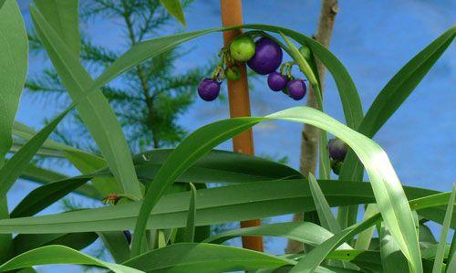 Blue Flax Lilly Dianella caerulea