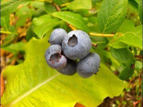 Узнайте как вырастить чернику из семян и черенков