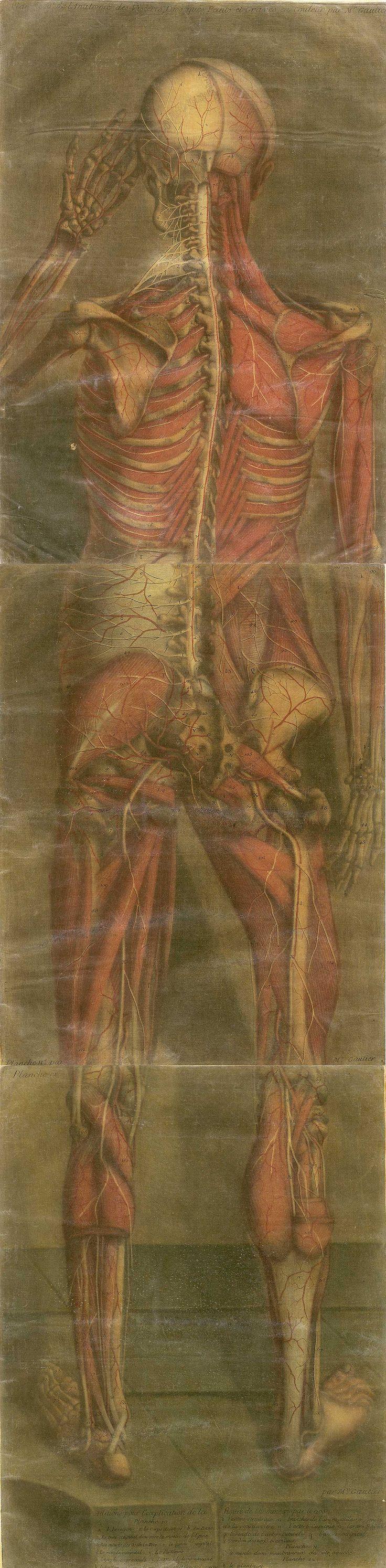Jacques Fabien Gautier d'Agoty  [ Anatomie generale des viscères en situation, de grandeur et couleur naturelle, avec l'angeologie, et la nevrologie de chaque partie du corps humain  (pinterest.com/pin/287386019946927282/) 1752].