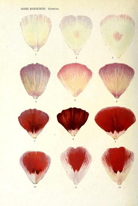Genetic inheritance of color. Flower petals    From Hans Rasmuson's studies of flower petal inheritance patterns inGodetia, circa 1920