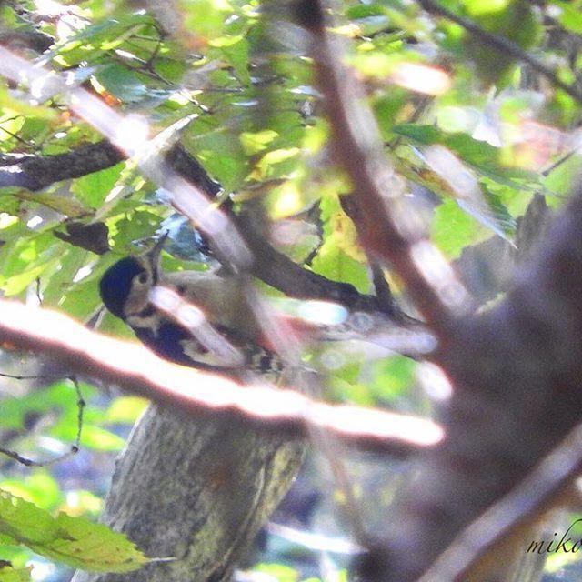【mikomoco】さんのInstagramをピンしています。 《あれあれ〜😳囀りを手掛かりに、その影を目で追って、ズームで確認してみたら、アオゲラじゃなくて、アカゲラさんでした😍も少し見られるものをとそっと近づこうとしたら見失ってしまった😭 まぁとりあえずは初ゲット😍次回にリベンジ👊🏻 #アカゲラ#アカゲラ雌 #枝被り#遠すぎ  #初見初撮り#野鳥#野鳥好き  #野鳥倶楽部#カメラ女子 #カメラ好き #nikon  #nikonphotography #nikonp610 #森#秘密の森 #秘密の場所 #単独行動#マイフィールド 次は何をゲットできるかな😊🎵》