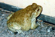 Several species of toads produce venom that contains psychoactive chemicals, but only Bufo alvarius venom contains 5-MeO-DMT, and in high enough quantities to smoke directly for effect. The venom of some Bufo species, including B. alvarius, contains trace amounts of bufotenin and some may also contain #toxic chemicals. Bufo #toad #venom is# poisonous if eaten. Lick a #frog #drugs #High #SUPERHIGH