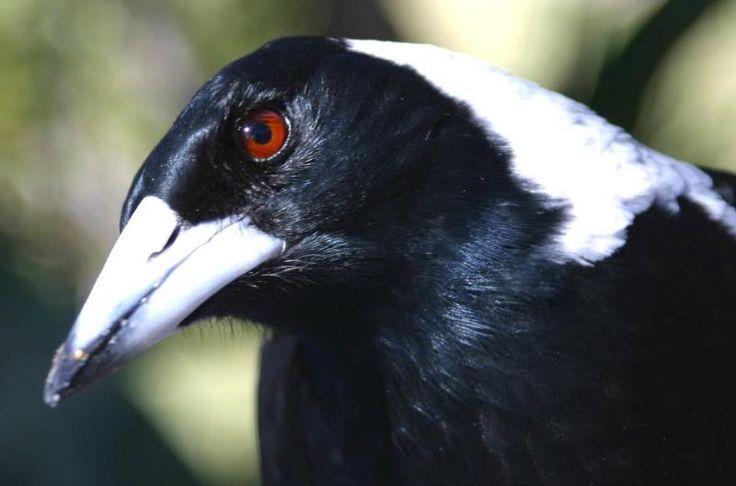 Australian Magpie - Cracticus tibicen