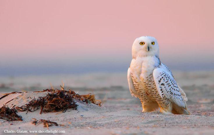 Snowy owl at sunrise by Charles Glatzer on 500px