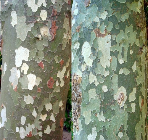 Plane tree (Platanus) bark