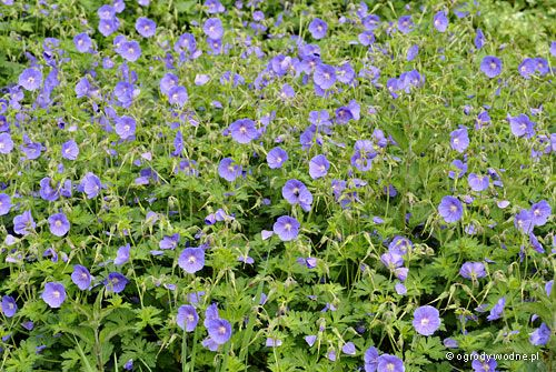 Geranium himalayense Johnson's Blue