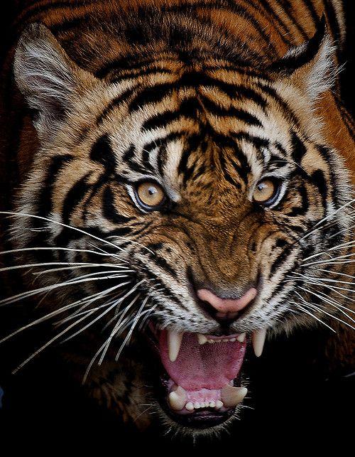 (via Harimau sumatra by Robert Cinega / 500px)