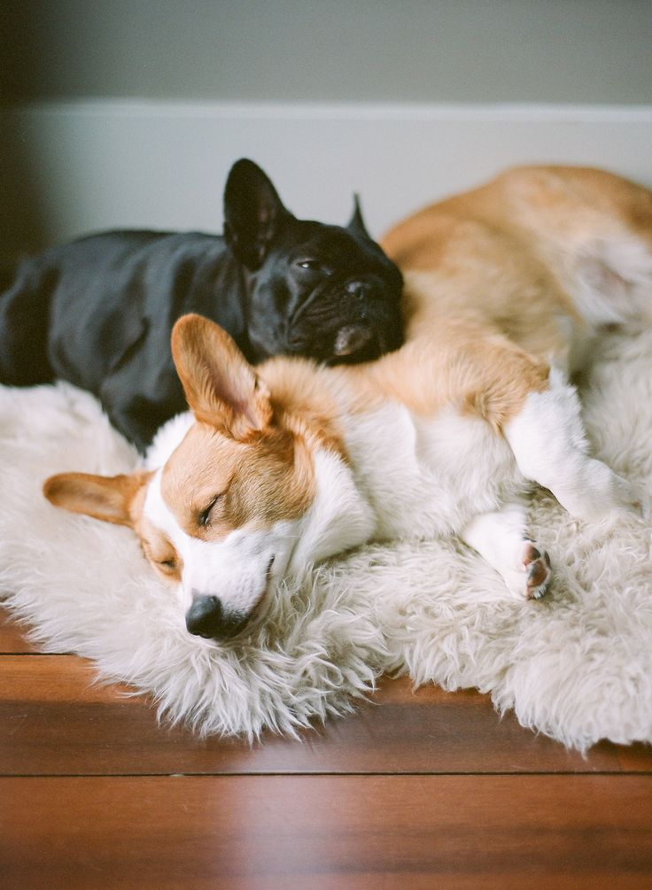 Corgi + French Bulldog = Match made in cuteness heaven
