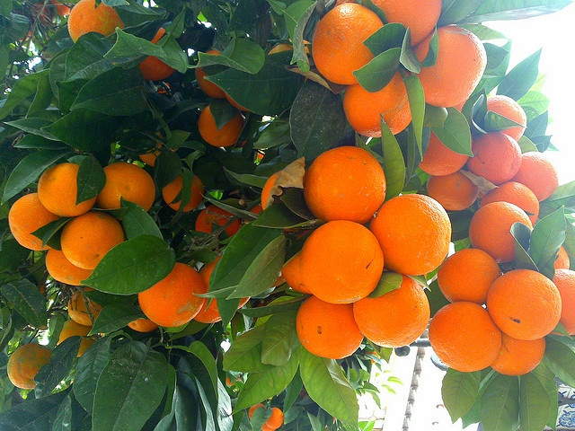 Oranges on the trees everywhere... (Andalucia)