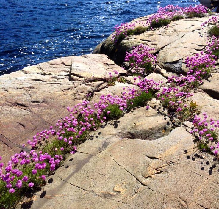Strandnellik/fjørkoll - blomstring: juni/juli