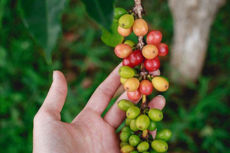 Coffee processing methods #coffeeblog