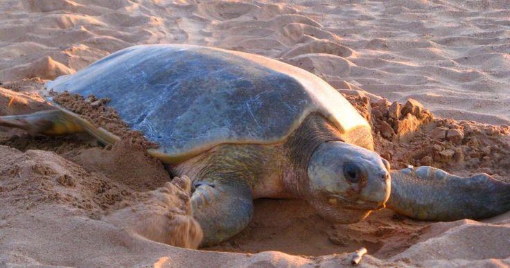 flatback-turtle-seadarwin