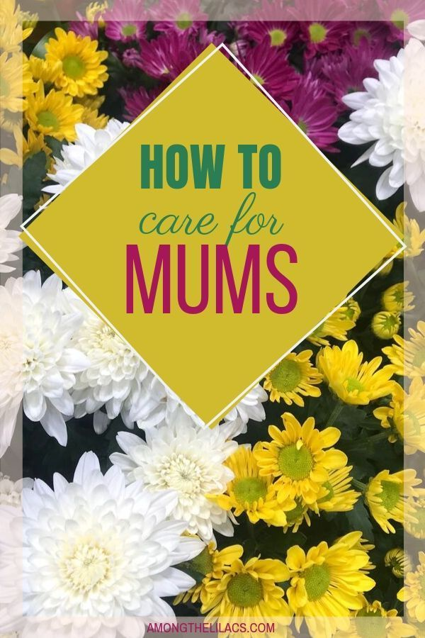 Learn how to care for your potted mums this Fall! This gorgeous flower produces …  – Flower Garden Growing Tips