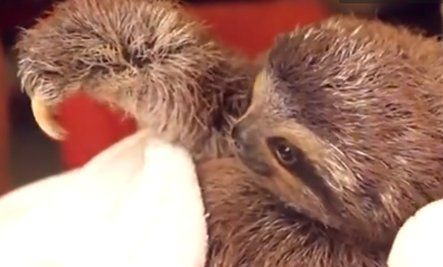 Romantic Baby Sloth (Video) So cute!