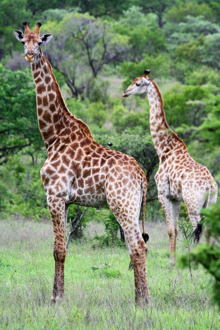 Giraffe, Kruger Park, South Africa Giraffe and Animal