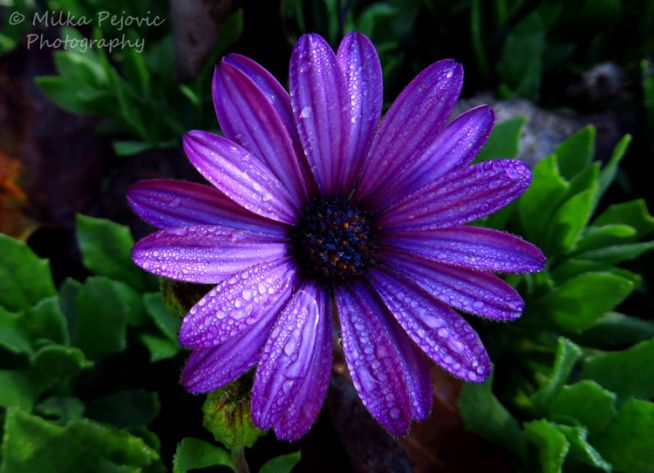 Dark purple aster flower with raindrops