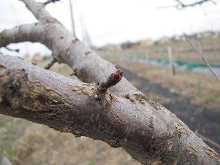 Metszés: Sárgabarack metszése