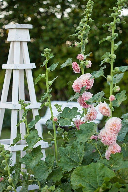 Stockros | Är egentligen tvåårig, men om man klipper bort överblommade grenar kan växten bli perenn. Frösår sig lätt själv också. Plantan blir cirka 150-200 cm och blommar juli, augusti och september.