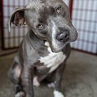 Lake Forest, California - American Staffordshire Terrier. Meet Bosco, a for adoption. https://www.adoptapet.com/pet/15044093-lake-forest-california-american-staffordshire-terrier-mix