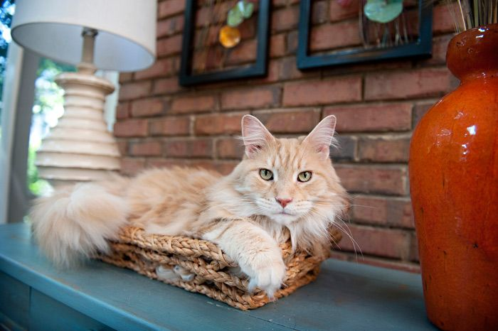 Everything you want to know about Maine Coons including grooming, training, health problems, history, adoption, finding a good breeder and more.
