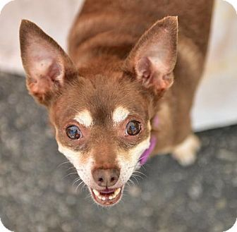 Marina Del Ray, CA - Chihuahua/Miniature Pinscher Mix. Meet POPEYE - video to view, a dog for adoption. http://www.adoptapet.com/pet/16953821-marina-del-ray-california-chihuahua-mix