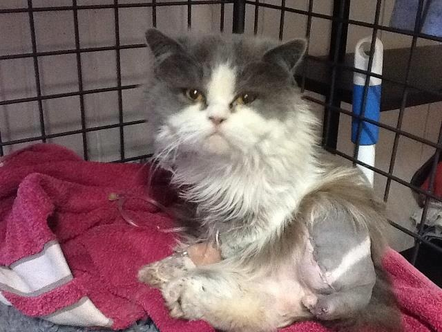Meet our miracle two-legged cat, Super Ted! He was found on a roadside with his back left and right front legs partially missing. He was caught in an engine. With no owner coming forward, we gave this guy a second chance with serious surgery at West Toowoomba Vet Surgery. He lost two legs and part of his tail but has made miraculous progress. He is getting around well, and very affectionate. We are hoping to raise $1,000 to help pay for the surgery. To donate please phone 07 3426 9972. Thank…