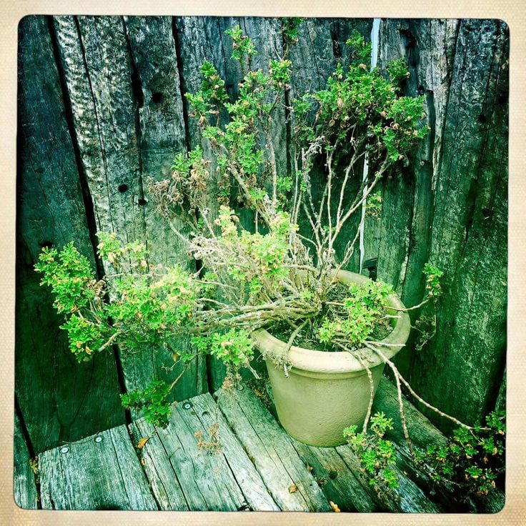 Rose Geranium on the railway sleeper stairs. Pic by Carrie Morgan.