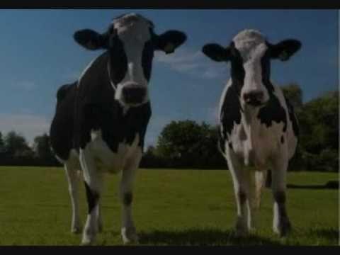 Liedje:Koeien die loeien