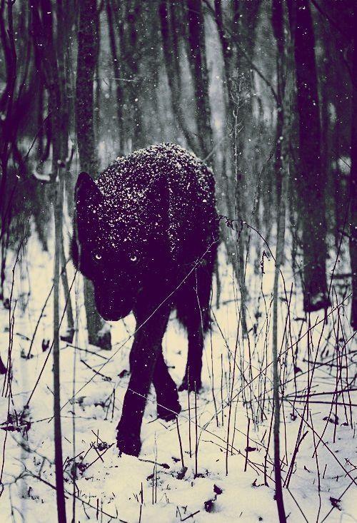 Black wolf in winter