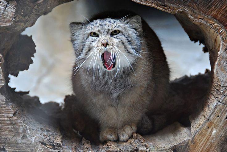 30 grimaces absolument hilarantes du chat de Pallas, le félin le plus expressif du monde | Daily Geek Show