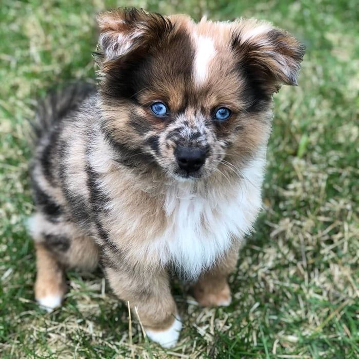 Aussie Pom Boye Cute Puppy Photos Pom Dog Hybrid Dogs