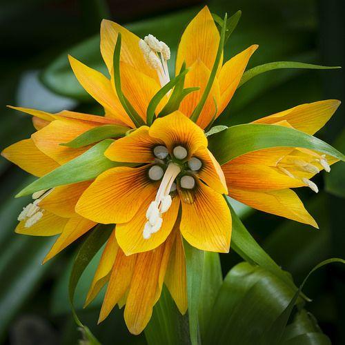 Fritillaria imperialis | by Roniyo888