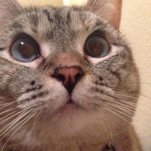Meet Nala,3years old Siamese&Tabbymix. #cat #meow