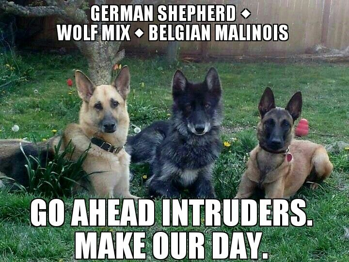 German Shepherd, Wolf mix and a Belgian Malinois Shepherd. Wow. Gorgeous! Hell yes...THESE.DOGS. Have two, just need the wolf hybrid and I'll be set! <3!