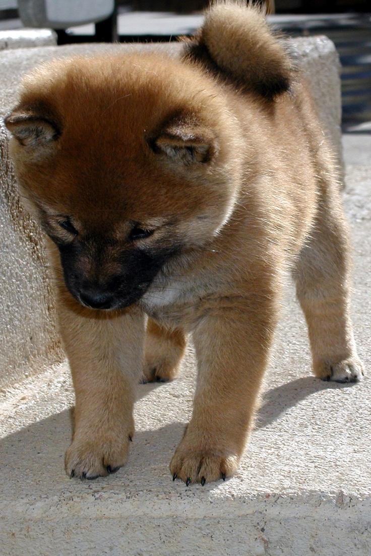 puppy puppy puppy (shiba inu)