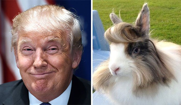 13 choses qui ressemblent étrangement à Donald Trump : un lapin à moumoute
