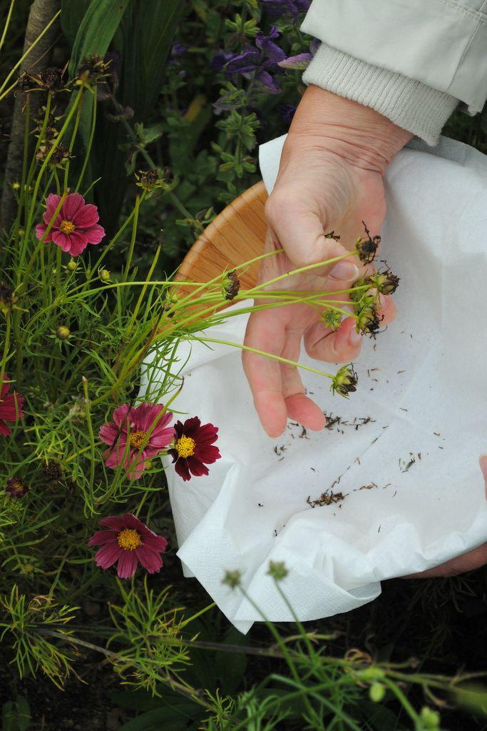 Zbieramy Nasiona Kwiatow Jednorocznych Naogrodowej Pl Garden Inspiration Garden Serving Bowls