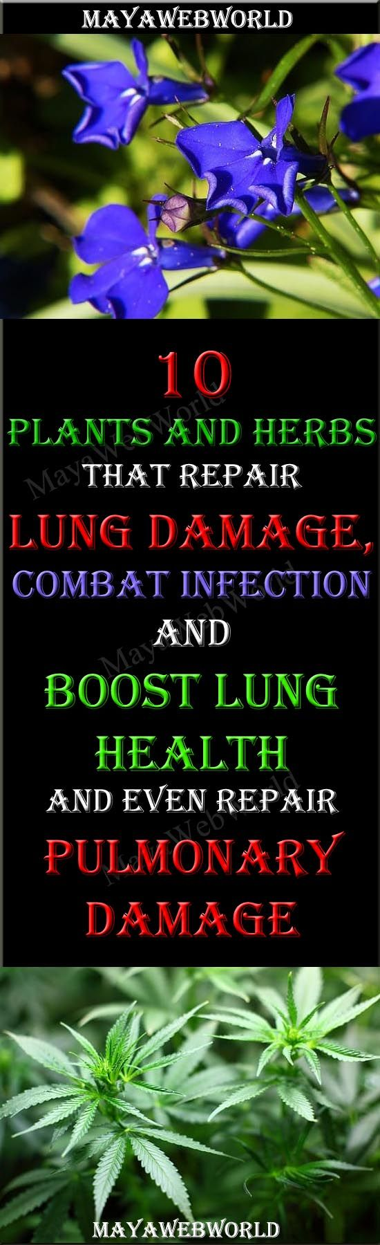 10 Plants and Herbs That Boost Lung Health, Heal Respiratory Infections And Even Repair Pulmonary Damage – MayaWebWorld
