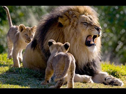 Life of Lions - Hunting, Fighting & Mating - Documentary Films - YouTube
