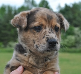Freckles is an adoptable Catahoula Leopard Dog Dog in Searcy, AR. Freckles is a 2 month old female Catahoula mix. She is very loving, sweet and playful....