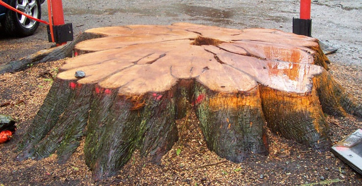 Lawson Cypress Trees felled in Betws-y-Coed in Church Yard