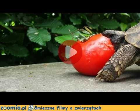 Karmimy żółwia « Inne zwierzęta « Śmieszne filmy o zwierzętach - śmieszne koty, śmieszne psy. Zoomia.pl :: Zoomia pl