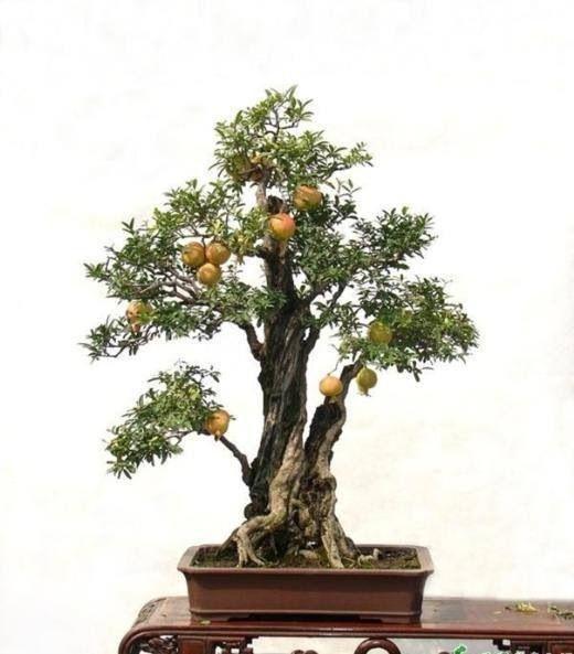 17 mejores im genes sobre bonsai con flores y frutos en - Como se cuida un bonsai ...