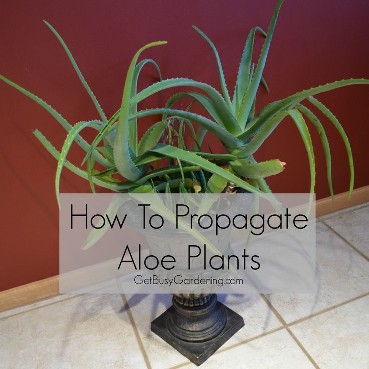 how to propagate aloe vera plants summer to find out and flower. Black Bedroom Furniture Sets. Home Design Ideas