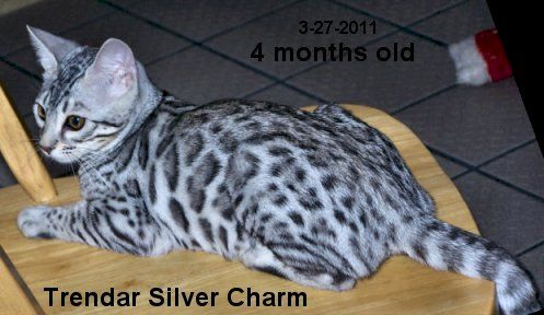Silver Bengal Cat-I want this cat! If only I wasn't allergic...