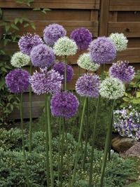 Nice alternative to monochromatic allium planting: Image of Giant Alliums Mixed Flower seeds